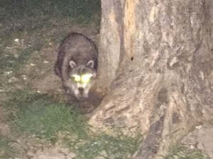 photo of the North American Raccoon