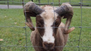 photo of Heirloom Sheep