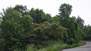photo of the Mimosa trees that are common along the road