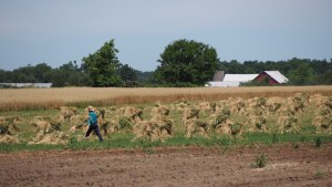 photo of an Amish farmer loose stacking oats