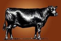 Complete Herd Dispersal: Angus Cows & Bulls, Feed & Equipment