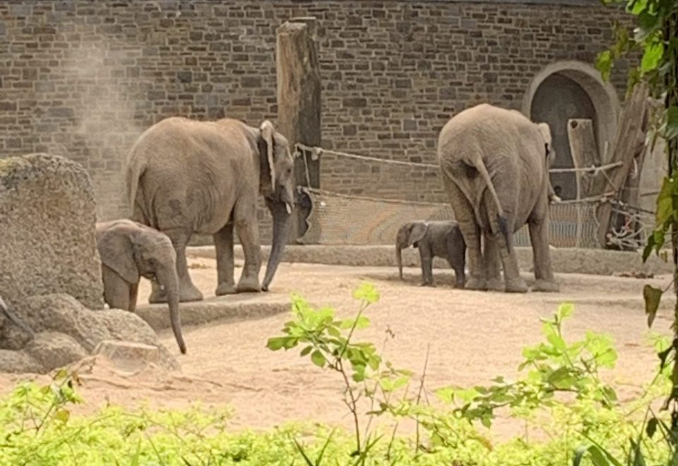 The baby elephant called gus with the herd
