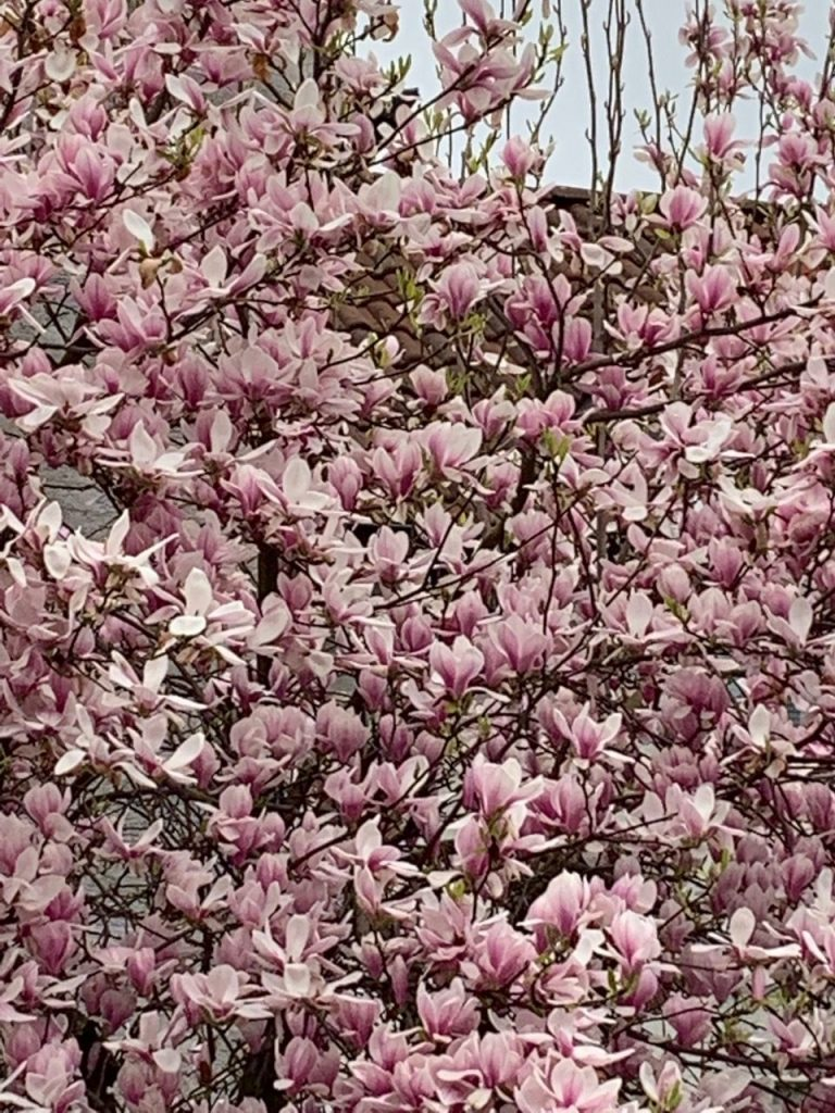 Magnolia tree in full bloom for spring