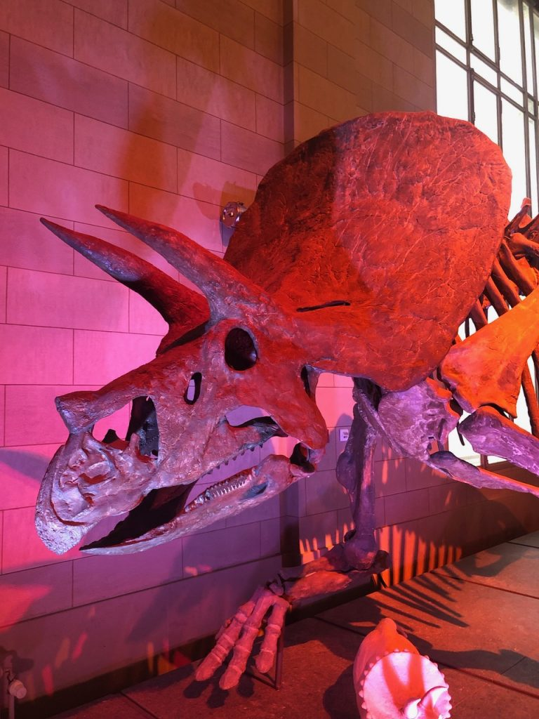 Triceratops fossil in the Dinosaur Hall