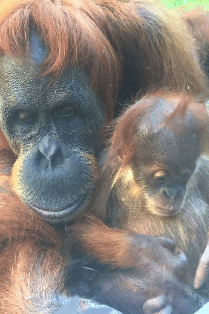 Very encounters with an orangutan and her baby during a memorable visit to the Munich zoo