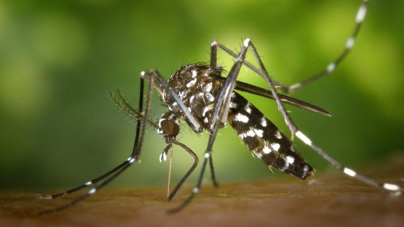 »Umwelt« | Tigermücken in der Schweiz