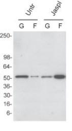 Graph - G-F actin ratio