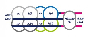 HDACs in Cancer - Histone_Structure_A-01-1