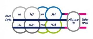 Histone_Structure_A-01-1