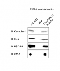 Extraction of RIPA-insoluble proteins WB
