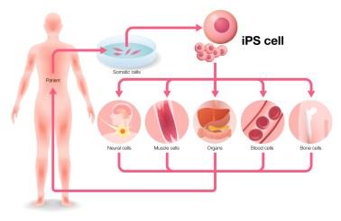 Induced pluripotent stem cells (iPSC) - tebu-bio