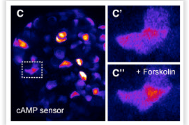 cAMP signals visualized in live human pancreatic primary cells