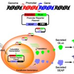 Develop robust and convenient cell based assays with Gaussian Luciferase