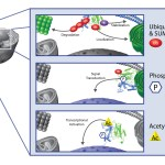 Cell signalling: How to easily detect mono- and poly-Ub target proteins