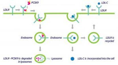 PCSK9 function in LDLR degradation. Source tebu-bio.