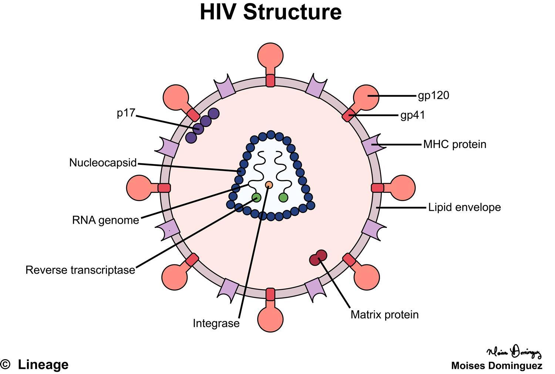 Hiv Nedir Hiv Virusunun Bula Ma Yollar Nelerdir Techworm