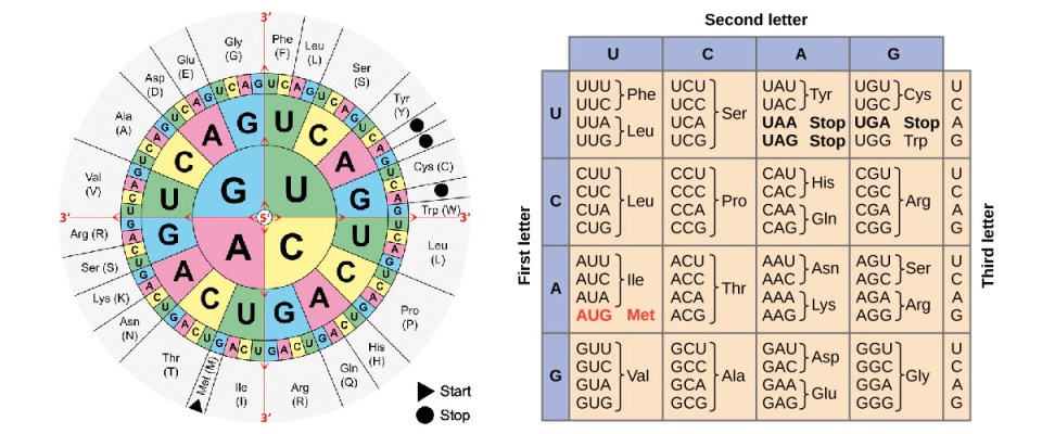 RNA codon mapping table
