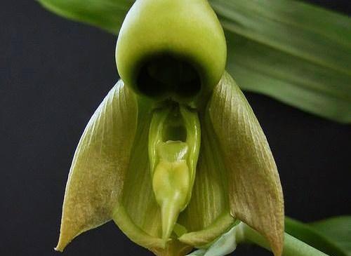 Catasetum viridiflavum orchid 01