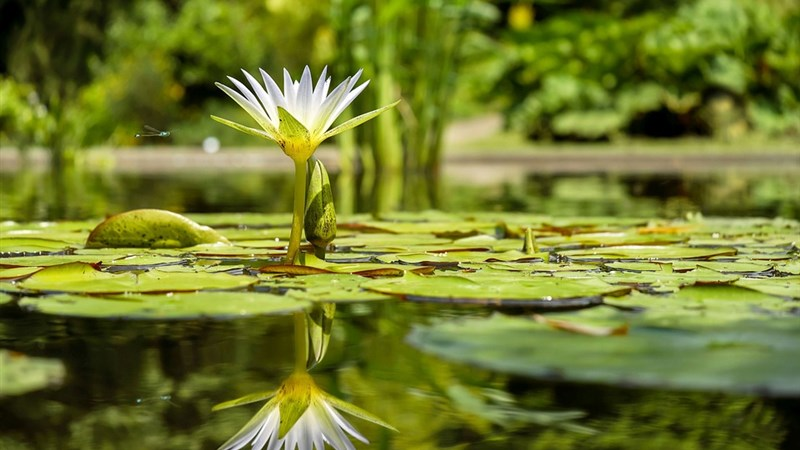 10 Water Lily Flower Flowers Pond Pond Plan