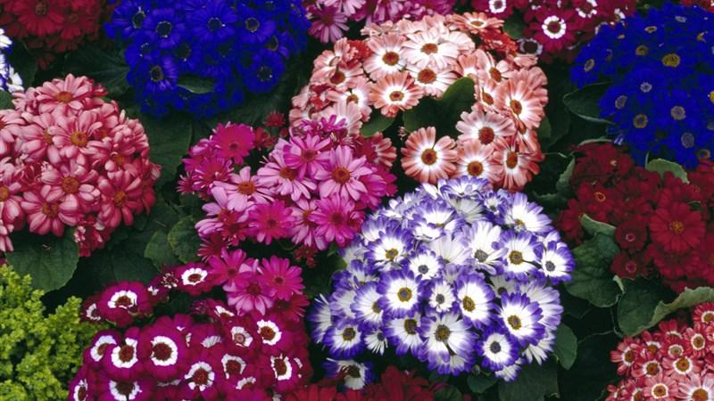 32 colorful cinerarias flower