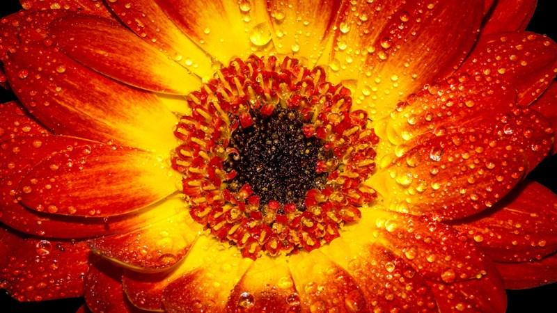 42 flower petal drop orange