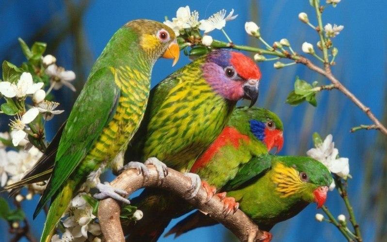 43 parrots