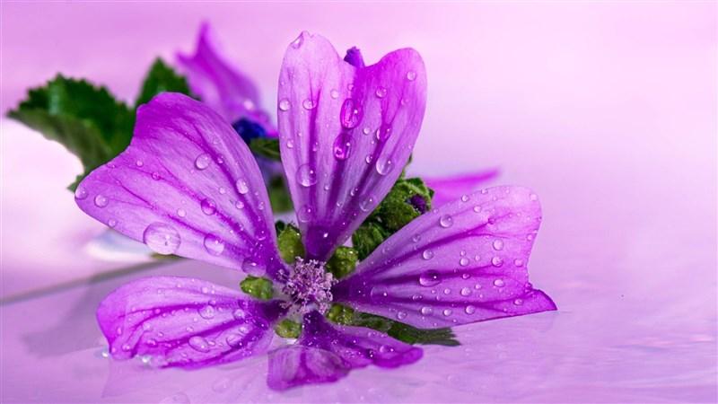 50 Purple Flower Close Up Water Drop Wallpaper
