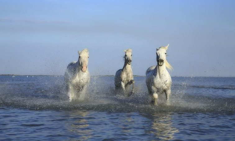 9 white horse in water