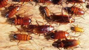 Multi-Residential Cockroach Pest Control for Brampton