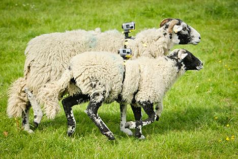 sheep4.png