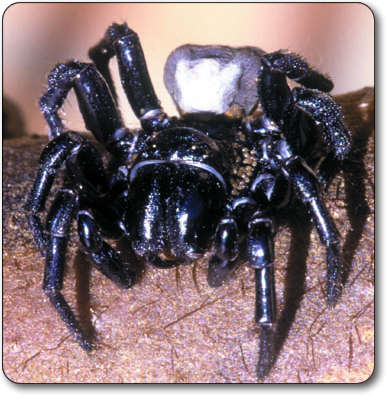 funnel web spider.jpg