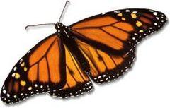 monarch-butterfly_large.jpg