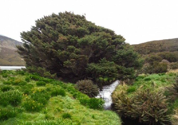 """This Sitka Spruce on Campbell Island contains a clear """"global"""" marker of a new epoch"""