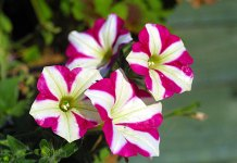 "The stigma of Petunia contains a toxin that stops pollen growth. Pollen in turn has a team of genes that produce antidotes to all toxins except for the toxin produced by the ""self"" stigma. © Lewis Collard"