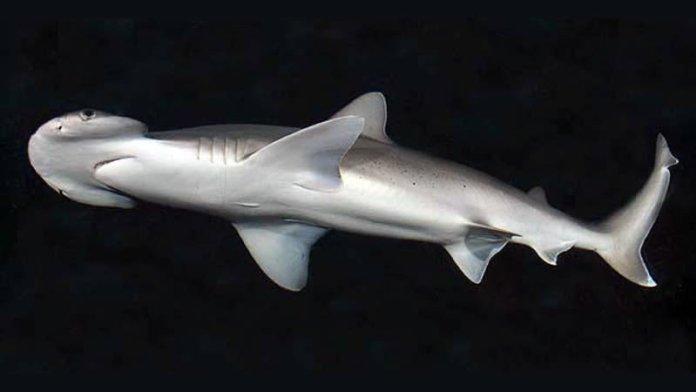 A bonnethead shark. Image: D. Ross Robertson/Wikimedia