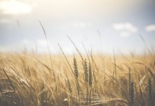 Scientists find genomic regions that decide zinc density in wheat