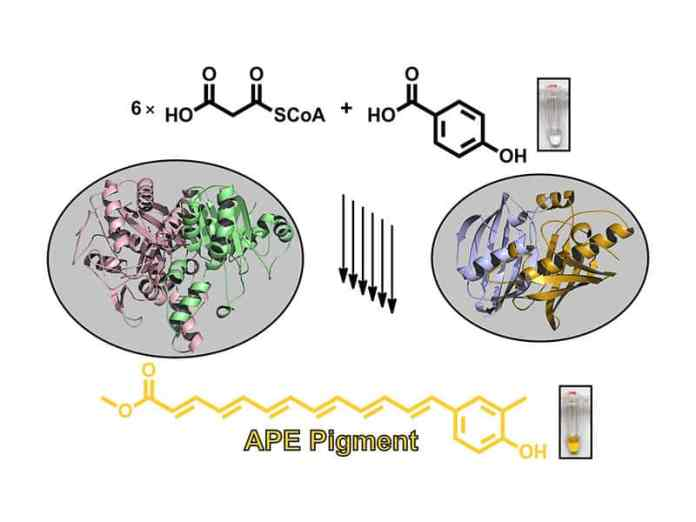Structure of the ApeI-ApeP enzyme complex, which plays a key role in the assembly of bacterial arylpolyene pigments. (Image: M. Schmalhofer / TUM)