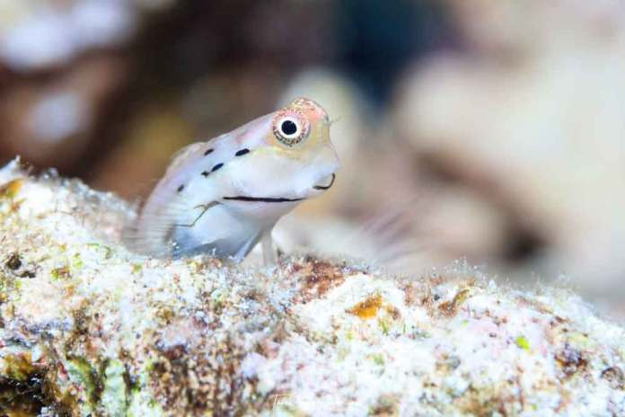 A Great Barrier Reef blenny looks out warily. It is these little fishes that supply over half the fish flesh eaten on coral reefs.Tane Sinclair-Taylor