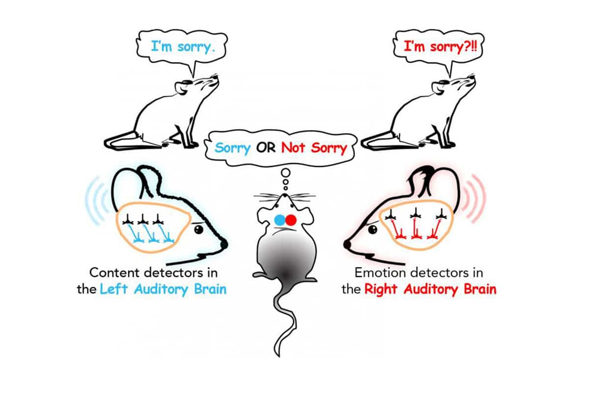 Unraveling mechanisms of speech processing in the brain