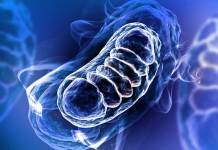 Illustration of mitochondria, specialized structures in cells that turn nutrients into energy