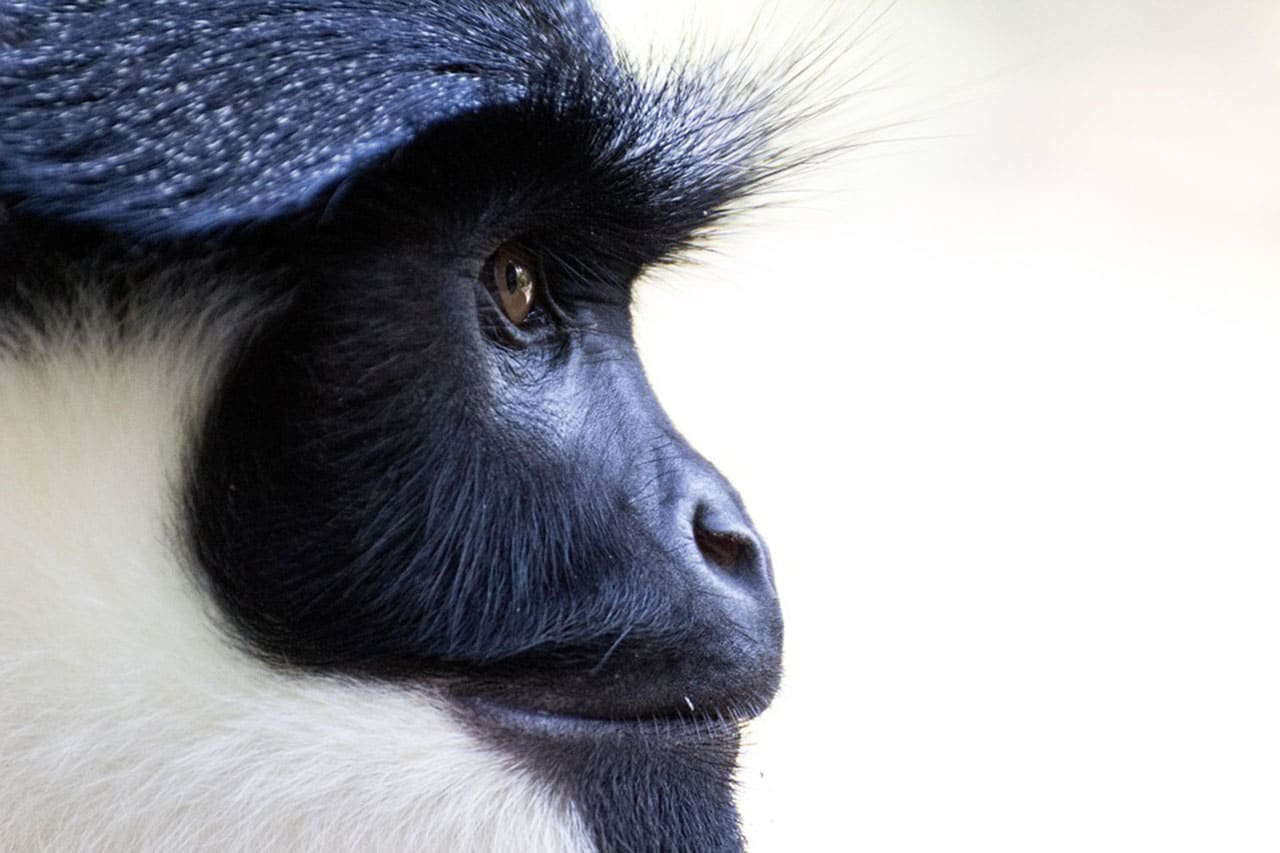 Deforestation is changing the way monkeys communicate