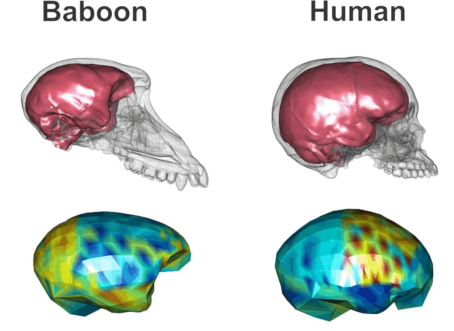 How humans evolved to have distinct large, globular shaped brains?