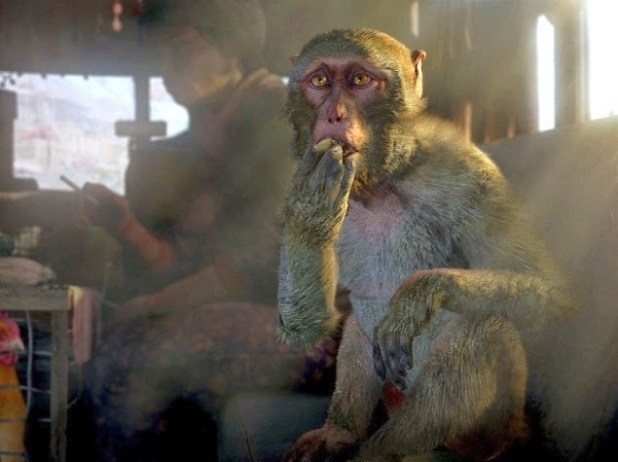 far_cry_4_monkey