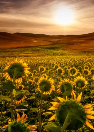 Sunflower and sun blooming phone backgrounds wallaper