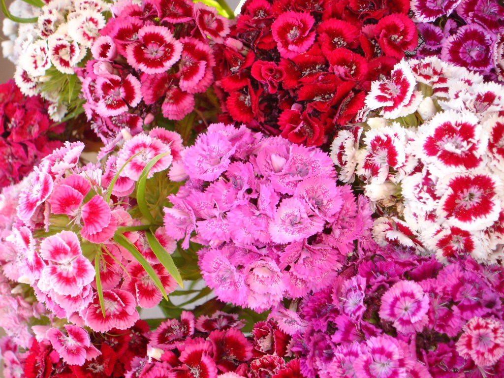 June Summer red pink and white flower