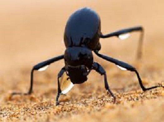 The Namibian Desert Beetle