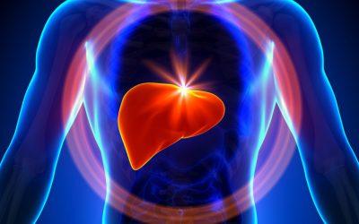 Human Liver Organ