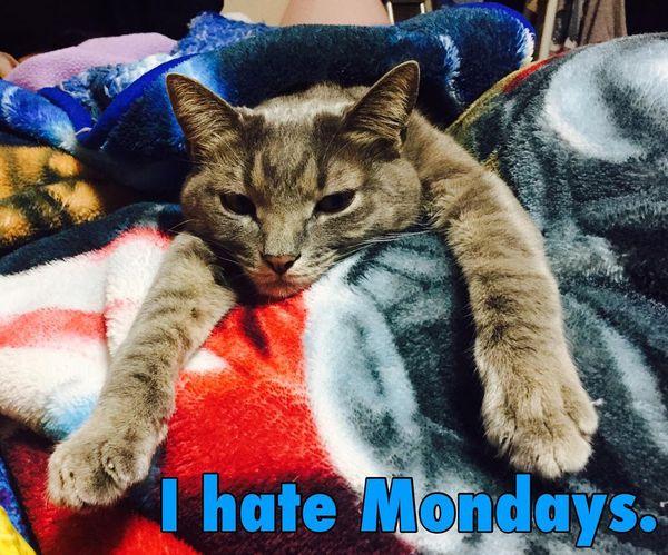я ненавижу понедельники кот мем