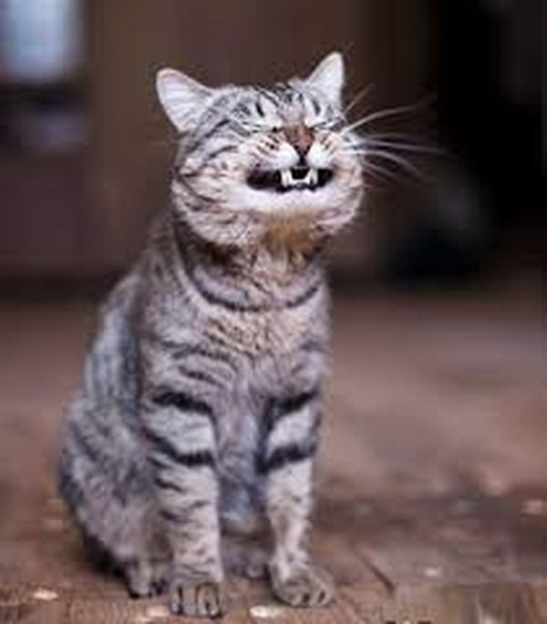 Beautiful laughing kitten meme