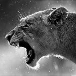 lioness_3-wallpaper-1280×960